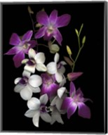 Dendrobium Orchids Fine-Art Print