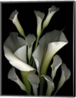 White & Crystal Blue Callas 2 Fine-Art Print