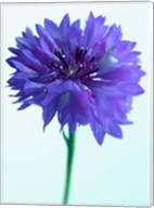 Lilac Delight Fine-Art Print