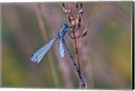 Blue Dragonfly On Stem Fine-Art Print