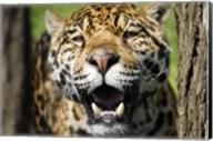 Jaguar Fangs Fine-Art Print