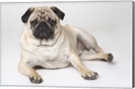 Beige And Black Pug Resting Fine-Art Print