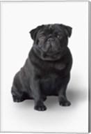 Black Pug Portrait On White Fine-Art Print