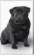 Black Pug Portrait On White Fine-Art Print