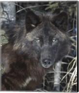 Black Wolf Fine-Art Print