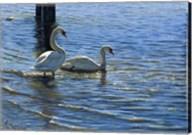 Glistening Water Swans Fine-Art Print