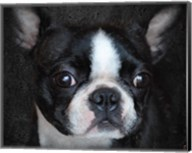 Boston Terrier Portrait Fine-Art Print