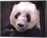 Giant Panda Bear Fine-Art Print
