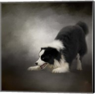 Ready To Play Border Collie Fine-Art Print