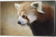 Red Panda Watching Fine-Art Print