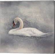 Swan Storm Fine-Art Print