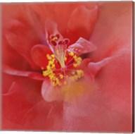 Salmon Hibiscus 1 Fine-Art Print