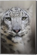 Stare Of The Snow Leopard Fine-Art Print