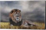 Lion Waiting For The Storm Fine-Art Print