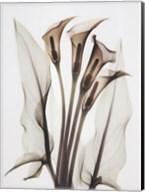 Calla Fine-Art Print
