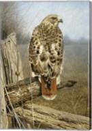 Red Tailed Hawk Fine-Art Print