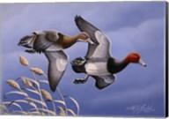 1986 Redhead Ducks Fine-Art Print