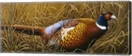 Sneaking Through The Long Grass - Ring Neck Pheasant Fine-Art Print