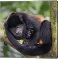 Black Howler Monkey, Sarapiqui, Costa Rica Fine-Art Print
