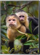 White-Throated Capuchin Monkeys (Cebus capucinus) on tree, Tortuguero, Costa Rica Fine-Art Print