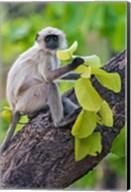 Gray Langur Monkey, Kanha National Park, Madhya Pradesh, India Fine-Art Print