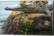 American Crocodile, Tortuguero, Costa Rica Fine-Art Print