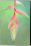 Heliconia Flower, Sarapiqui, Costa Rica Fine-Art Print
