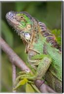 Green Iguana, Sarapiqui, Costa Rica Fine-Art Print