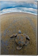 Green Sea Turtle, Tortuguero, Costa Rica Fine-Art Print