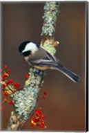 Black-capped Chickadee Bird Fine-Art Print