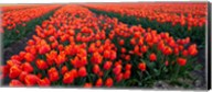 Rows of Red Tulips in bloom, North Holland, Netherlands Fine-Art Print