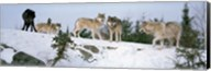 Gray wolves, Massey, Ontario, Canada Fine-Art Print
