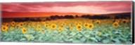 Sunflowers, Corbada, Spain Fine-Art Print