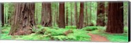 Avenue Of The Giants, Founders Grove, California Fine-Art Print