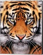 Tiger Face Fine-Art Print