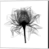 Rose,Open #2 X-Ray Fine-Art Print