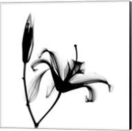 Lily  + Bud X-Ray Fine-Art Print