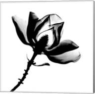 Magnolia X-Ray Fine-Art Print