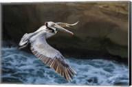 Pelican Flight Fine-Art Print
