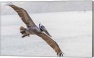 Pelican Spread Fine-Art Print