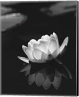 Water Lily BW Fine-Art Print