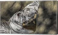 White Tiger Headbutt Fine-Art Print