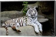 White Tiger Fine-Art Print