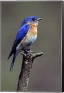 Beautiful Bluebird Fine-Art Print