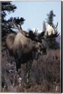 Giant Moose Fine-Art Print