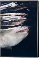 Great White Shark Preying in Water Fine-Art Print
