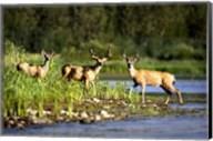 Three Deer in Marshland Fine-Art Print