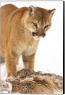 Bobcat Standing over Prey Fine-Art Print
