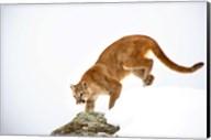 Bobcat Prowling on Snowy Mountain Fine-Art Print