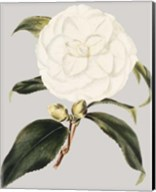 Camellia Japonica I Fine-Art Print